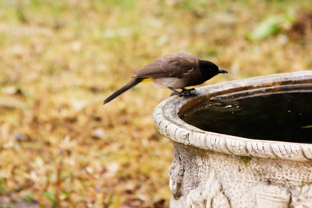 Common Bulbul drinking water